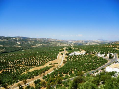 Die Olivenhaine bei Zuheros zwischen Granada und Cordoba