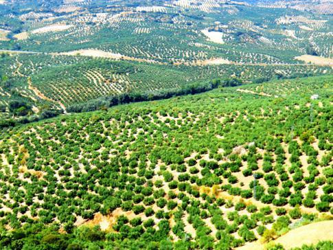 Die endlosen Olivenhaine von Zuheros