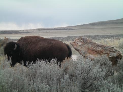 Ein Bison auf Antelope Island