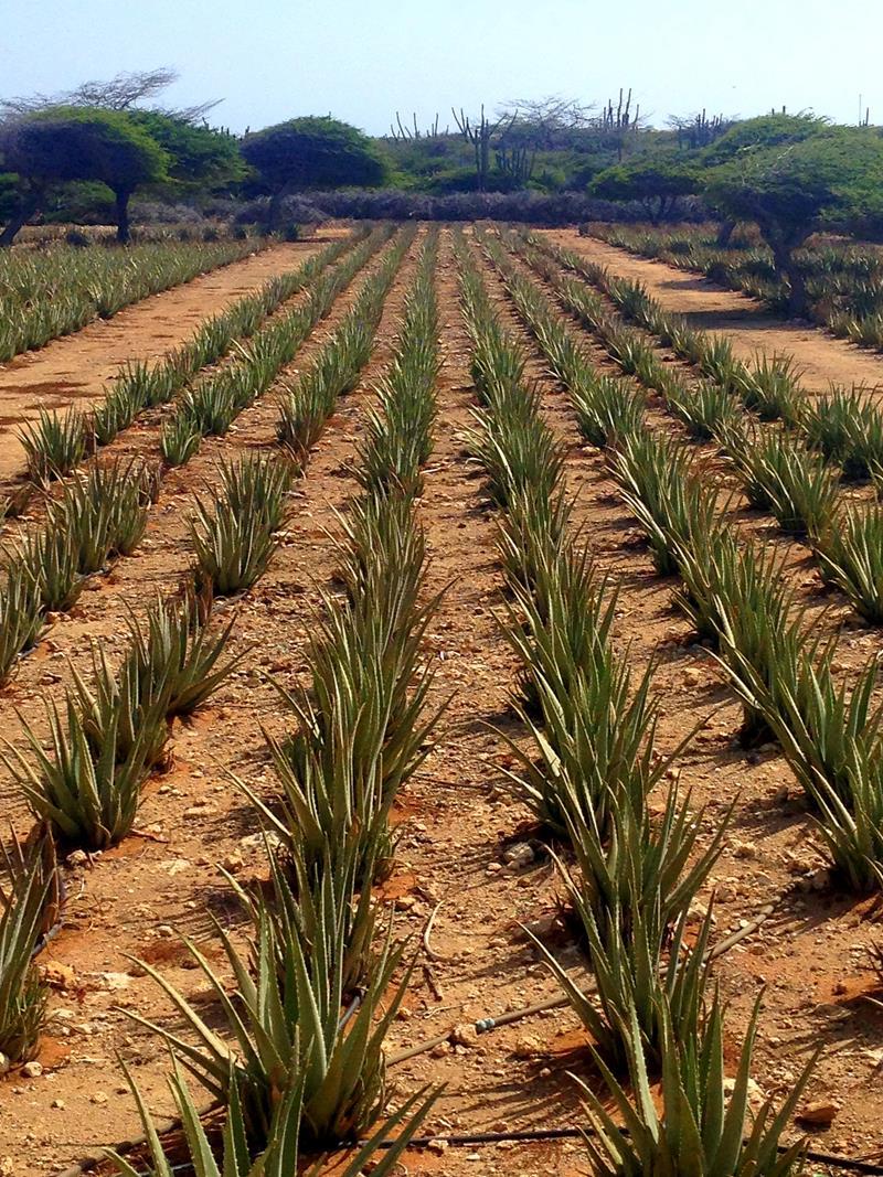 Die Aloe Vera Farm inkl. Museum auf Aruba