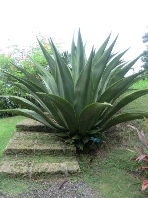 Eine der wenigen sehenswerten Pflanzen im Flower Forest in Barbados