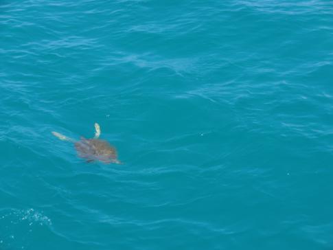 Eine grüne Lederrückenschildkröte im Meer der Karibik
