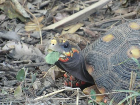 Eine Schildkröte auf der Grenadinen-Insel Canouan