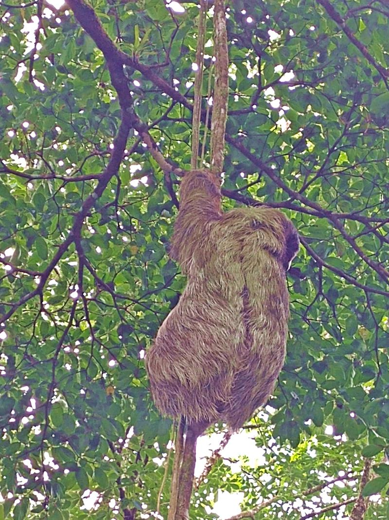 Ein Faultier bei unserer Tierbeobachtung im Tenorio National Park