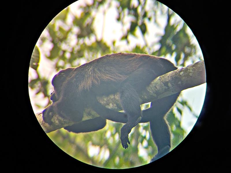 Ein Brüllaffe in Bijagua nahe dem Tenorio National Park