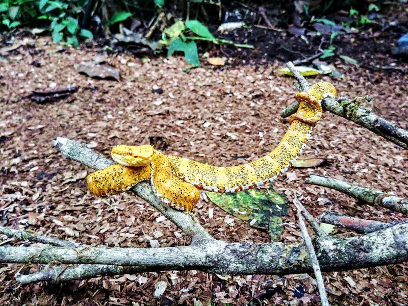 Eine Schlange in der Nähe des Tenorio National Park, bei Bijagua, Costa Rica