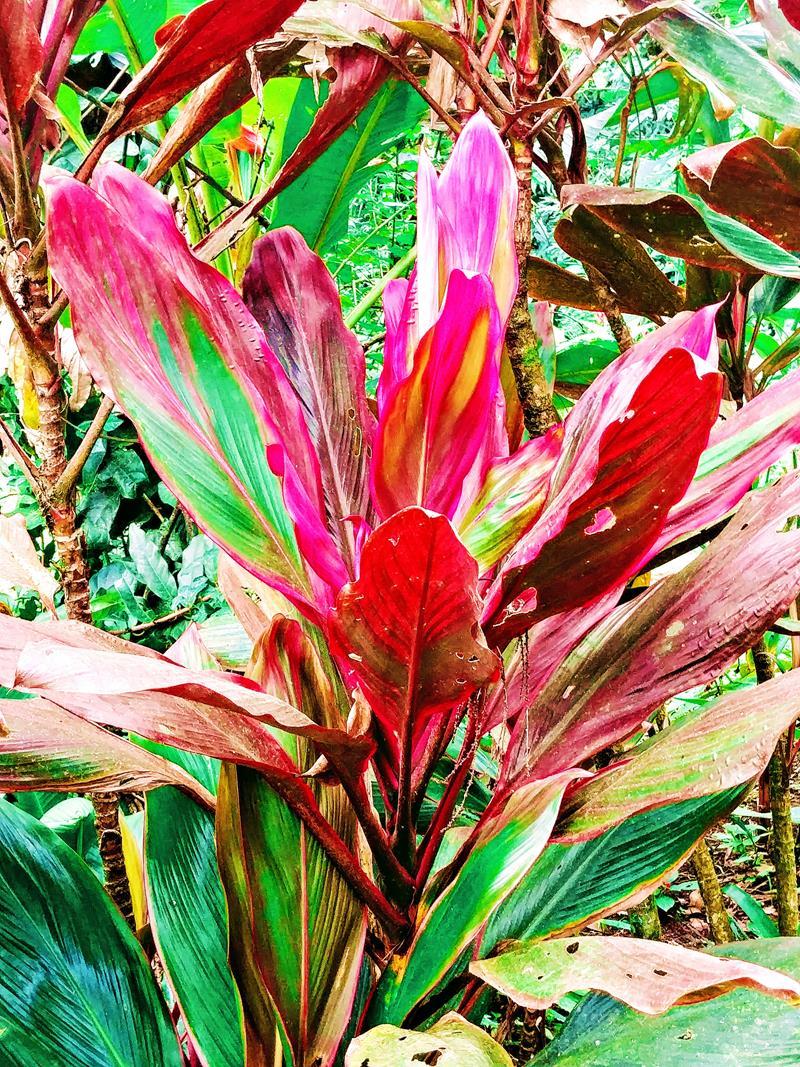 Wunderschöne tropische Pflanzen in Bijagua, nahe dem Tenorio National Park in Costa Rica