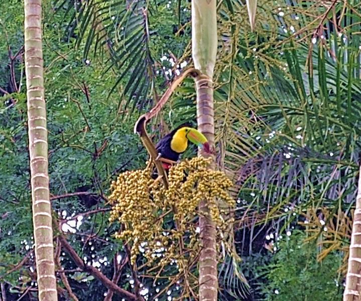 Ein Toukan, der Nationalvogel von Costa Rica, im Rincon de la Vieja National Park