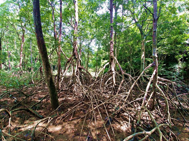 Die Mangroven und wilde Natur im Lagarta Lodge Reservat in Nosara