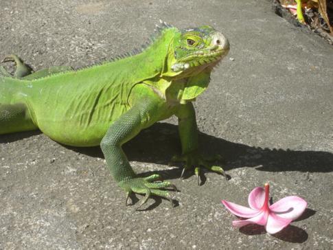 Leguan in Dominica