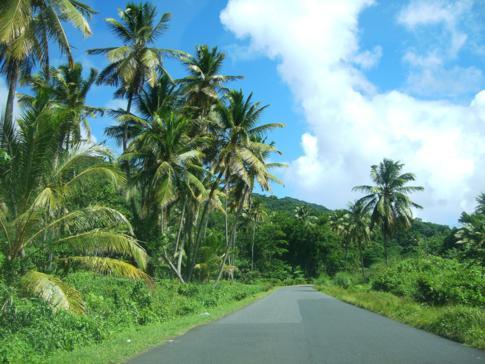 Typisch für Dominica: Palmen soweit das Auge reicht ...