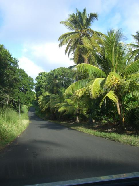 VIele Palmen auf dem Weg zum Melville Hall Airport in Dominica