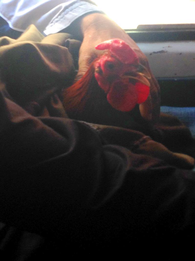 Ein Huhn im Guagua in der Dominikanischen Republik