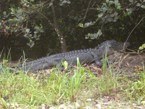Alligatoren direkt an der Loop Road durch die Everglades