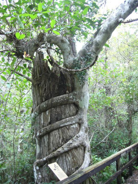 Der Big Cypress Bend Boardwalk am Rande der Everglades