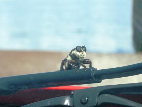 Interessantes Insekt an unserem Auto an der Fort Gates Ferry