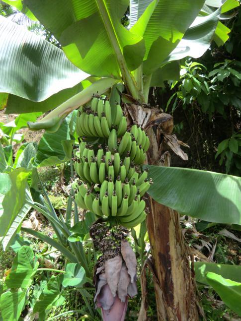 Bananenstauden im Concord Valley