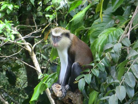 Ein Affe hinter dem Monkeyz Restaurant