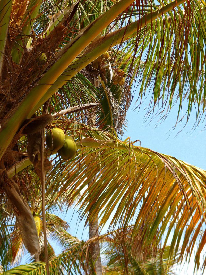 Traumstrand und Kokospalmen auf Sandy Island bei Grenada
