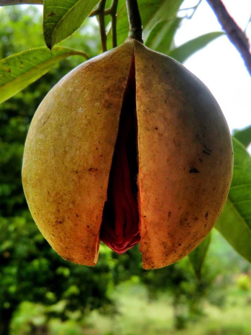 Muskatnüsse sind das wichtigste Exportgut auf Grenada
