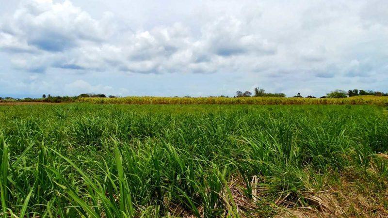 Zuckerrohr ist das wichtigste Anbauprodukt auf Marie-Galante