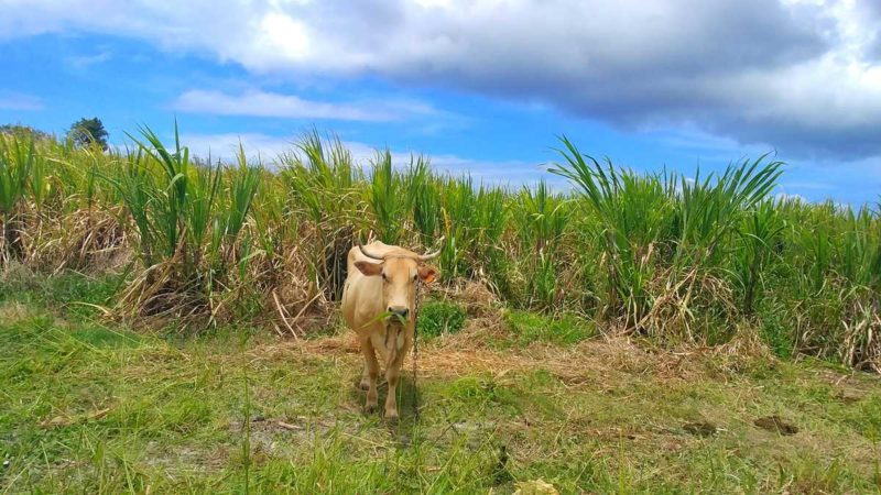 Endlose Zuckerrohrfelder auf Grande-Terre auf Guadeloupe