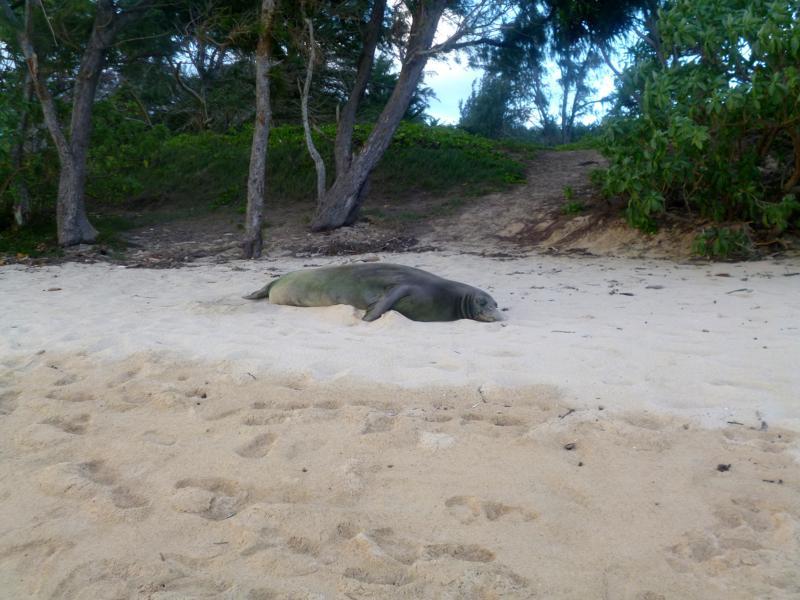 Ein Hawaiian Monk Seal im Malaekahana State Park auf Oahu