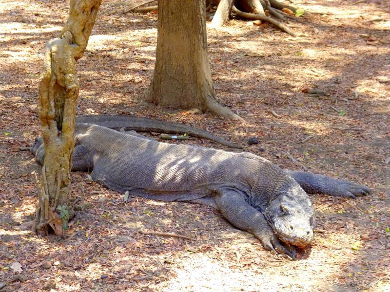 Der Komodo National Park - Hauptlebensraum der Komodowarane