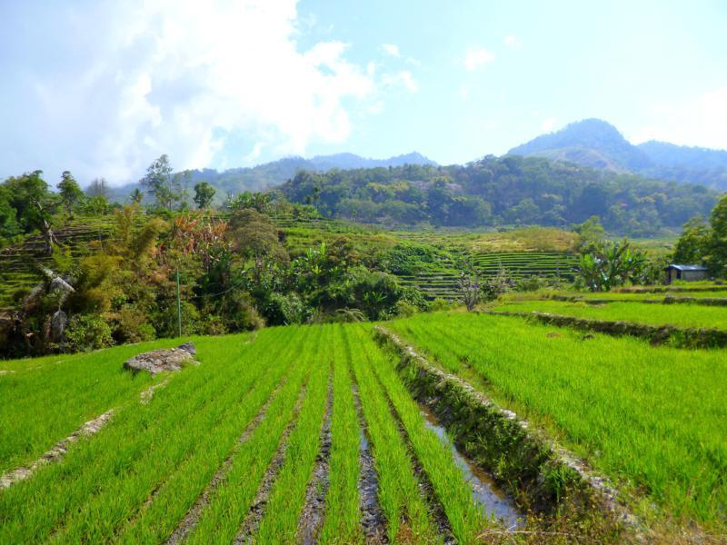 Reisfelder in Indonesien auf dem Weg zum Kelimutu National Park