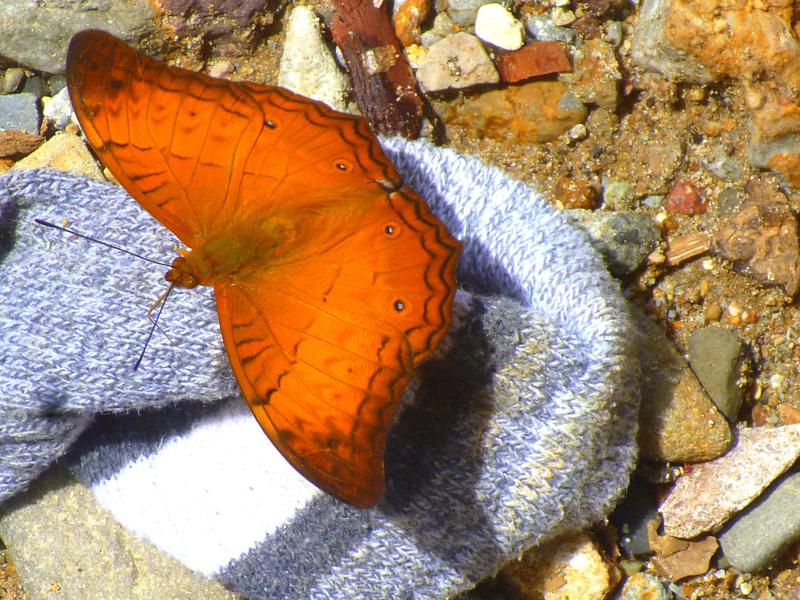Schmetterling-Parade im Gunung Leusser National Park auf Sumatra in Indonesien