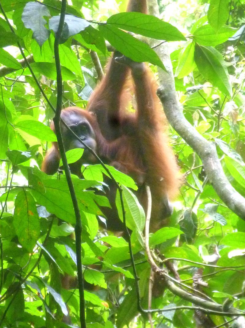 Ein präsentierfreudiger Orang-Utan im Gunung Leusser National Park