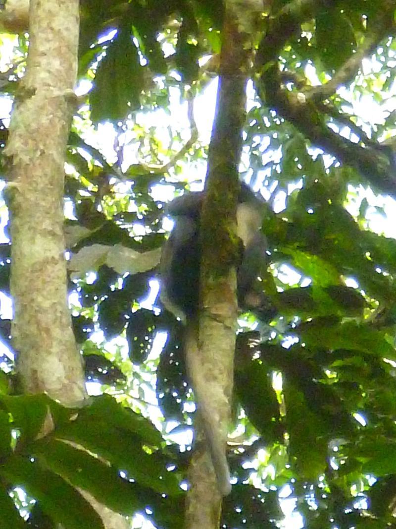 Einer der vielen Affenarten im Gunung Leusser National Park