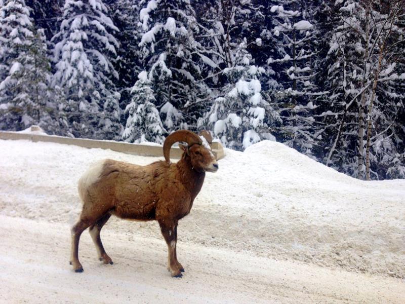 Tierbeobachtungen im Kootenay National Park