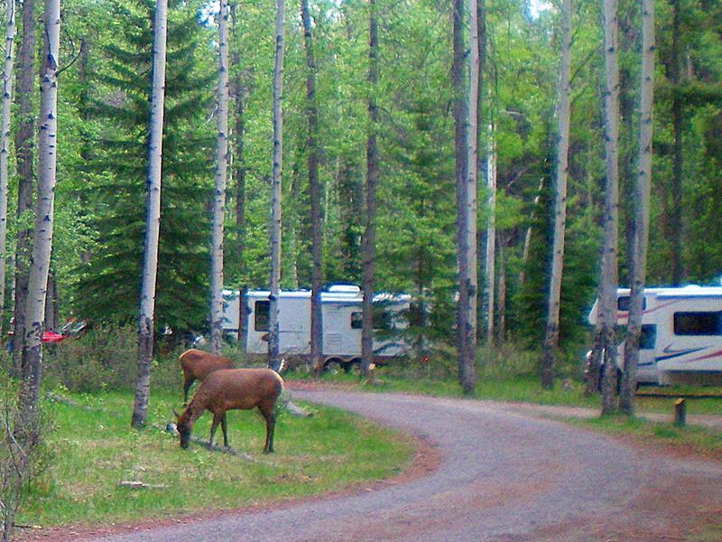 Wapiti-Hirsch auf dem Wapiti-Campground im Jasper National Park