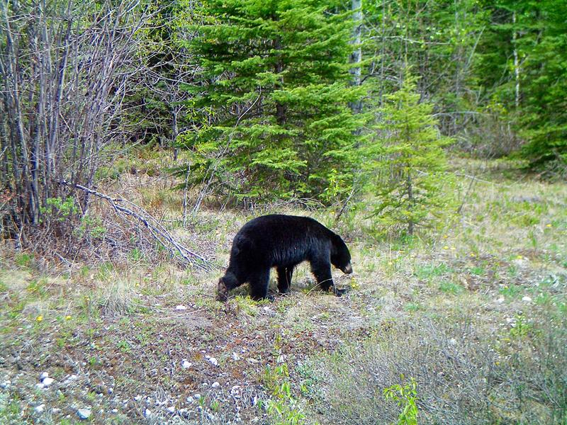 Ein Bär in den Rocky Mountains von Kanada