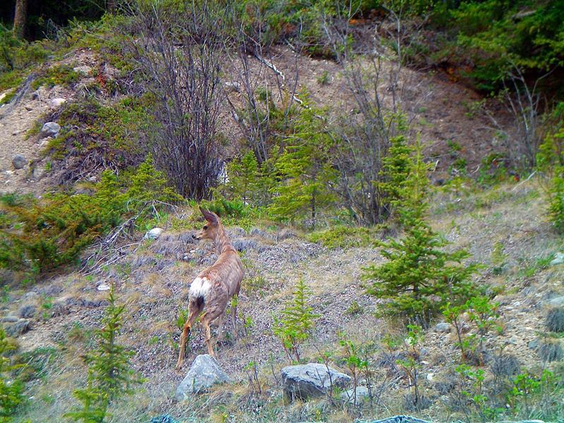 Ein Reh im Jasper National Park entlang des Icefields Parkway