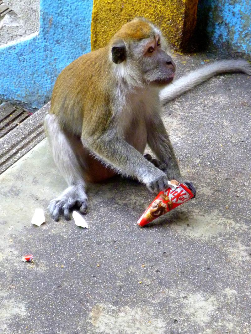 Agressiver Affe in den Batu Caves