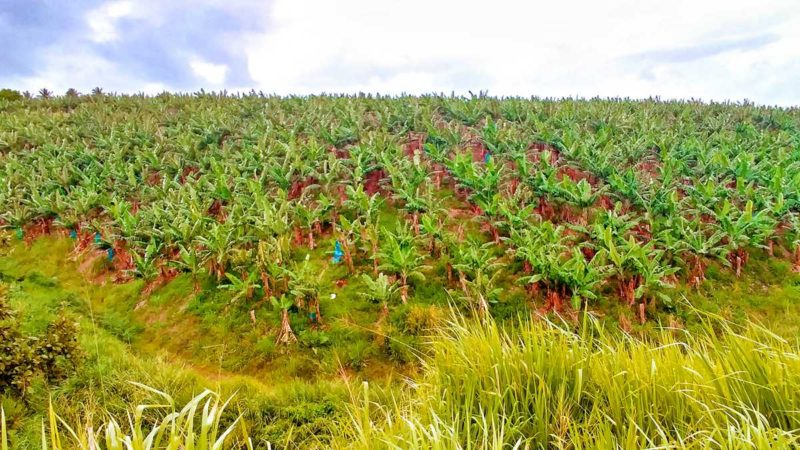 Bananenplantagen auf Martinique soweit das Auge reicht