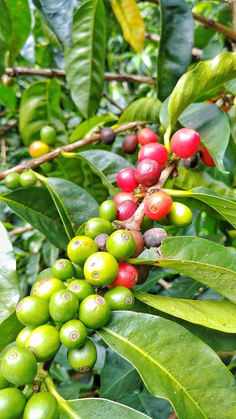 Besuch der Kaffeefarm Lerida in den Bergen von Boquete