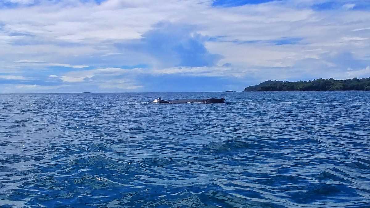 Walbeobachtung im Golf von Chiriquí bei einer Inselhüpfen-Tour