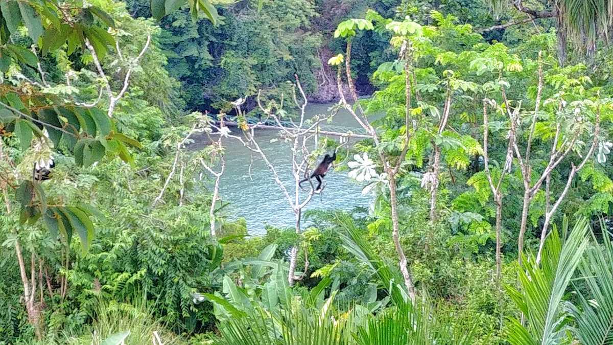 Die Brüllaffen auf der Insel Boca Brava im Golf von Chiriqui