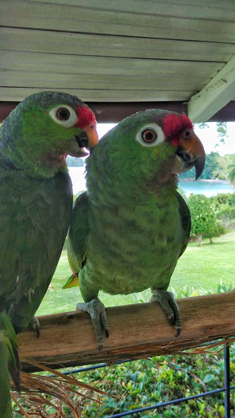 Papageien in der Unterkunft Boca Brava Paradise