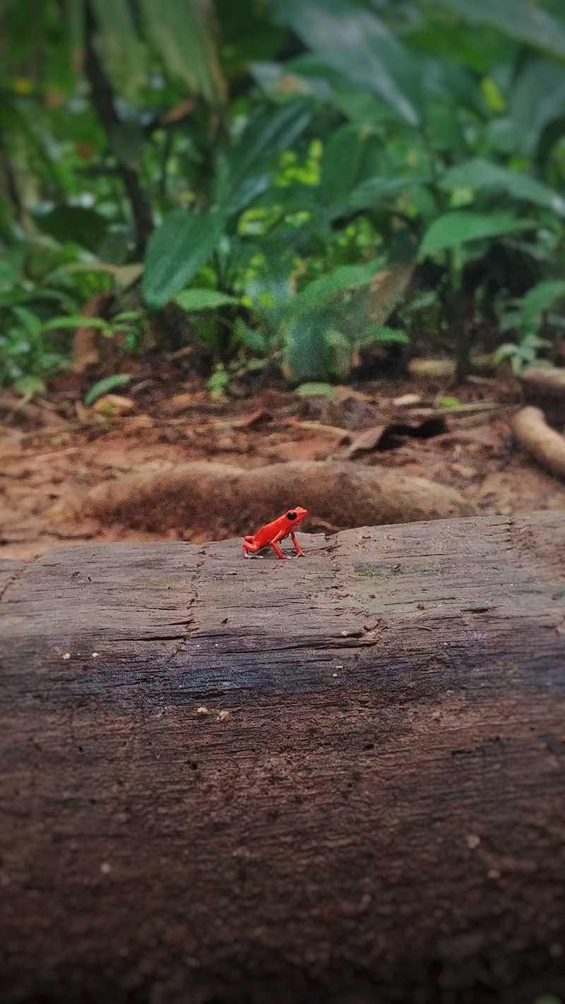 Der rote Erdbeerfrosch auf der Isla Solarte im Nordwesten von Panama