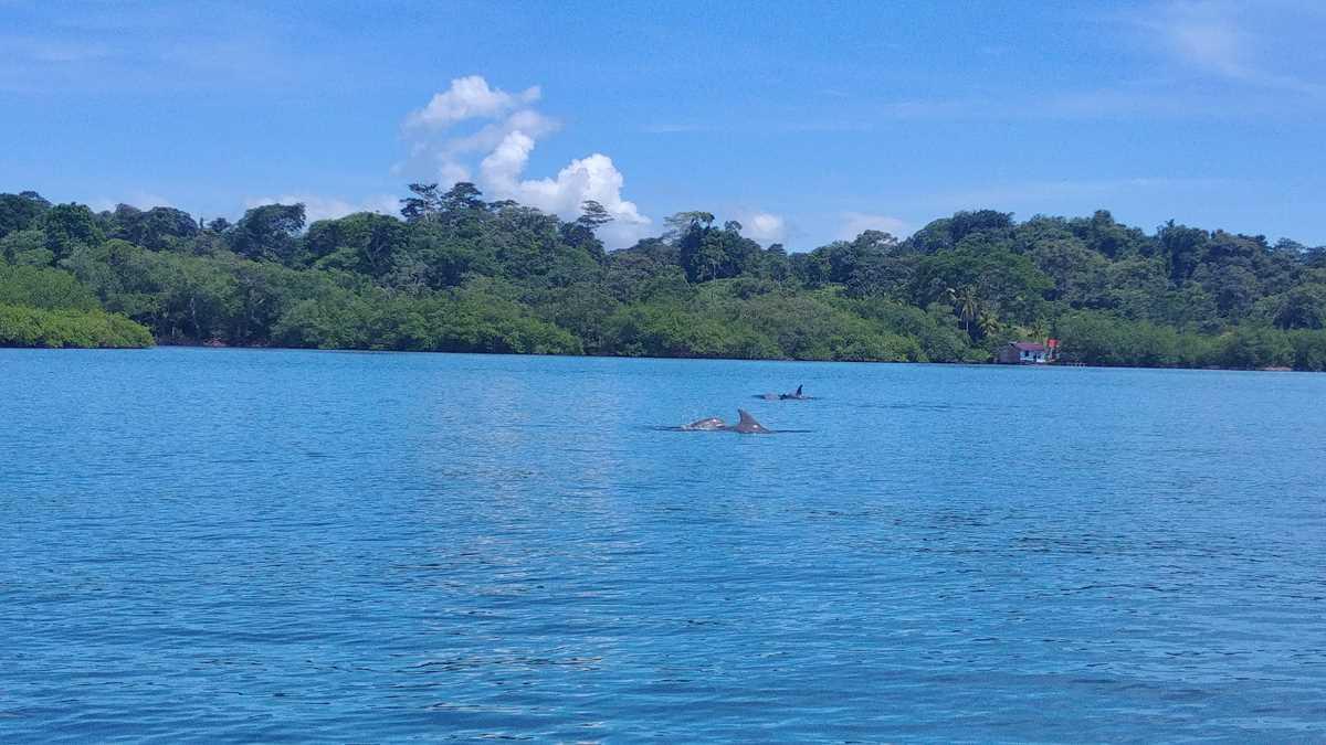 Delfinbeobachtung im Bocas del Toro Archipel im Rahmen einer Inselhüpfen-Tour
