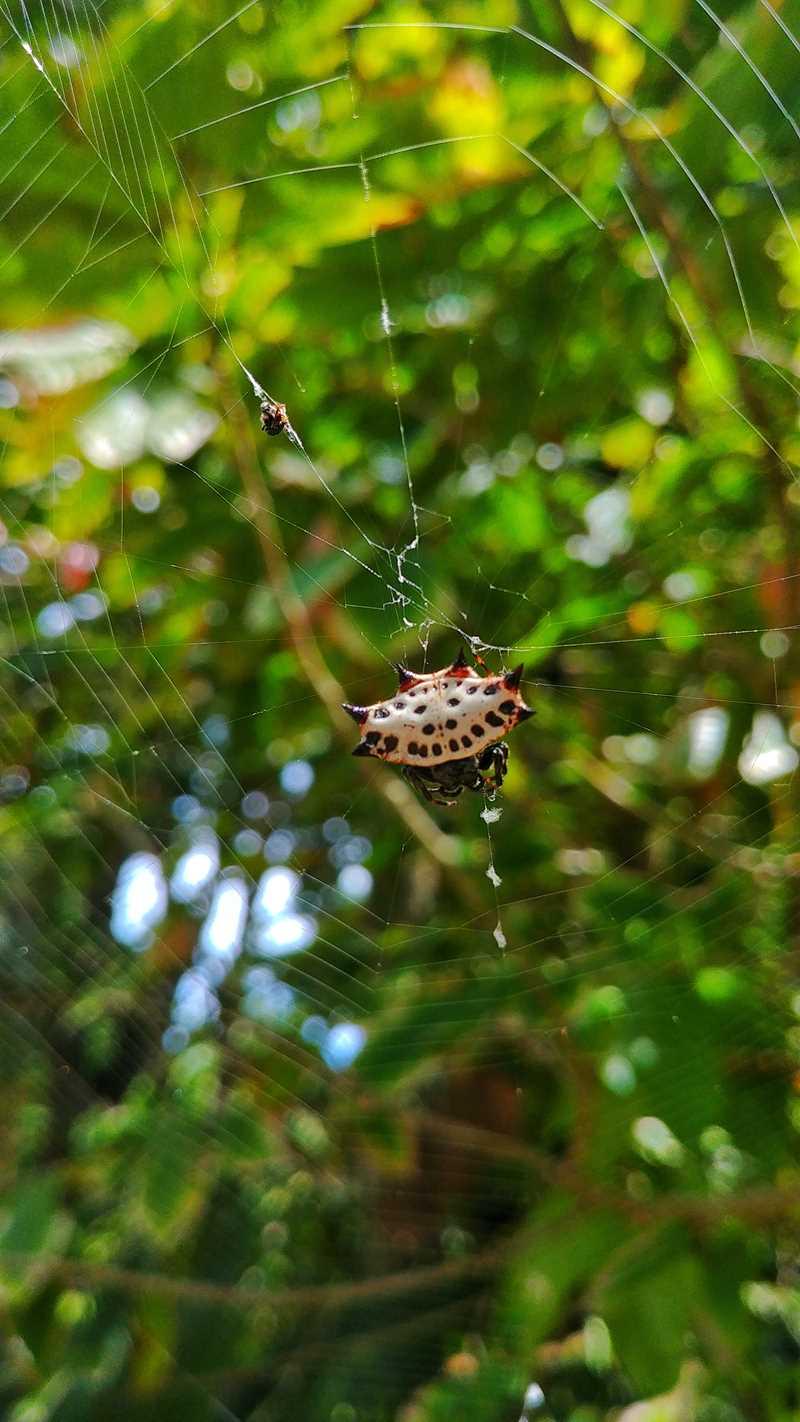 Eine interessante Spinne auf der Isla Bastimientos im Bocas del Toro Archipel