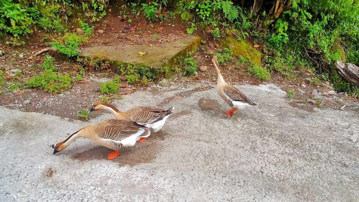 Enten in Boquete auf dem The Pipeline Trail Wanderweg