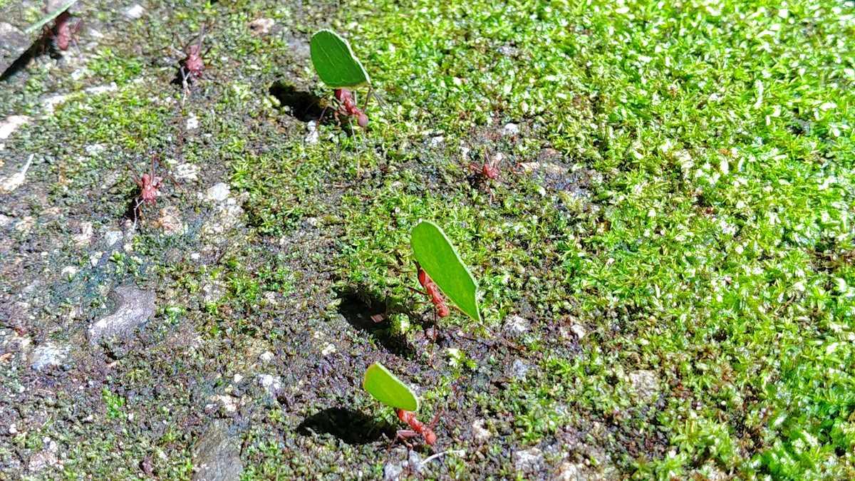 Fleißige Ameisen in El Valle de Anton im Zentrum von Panama