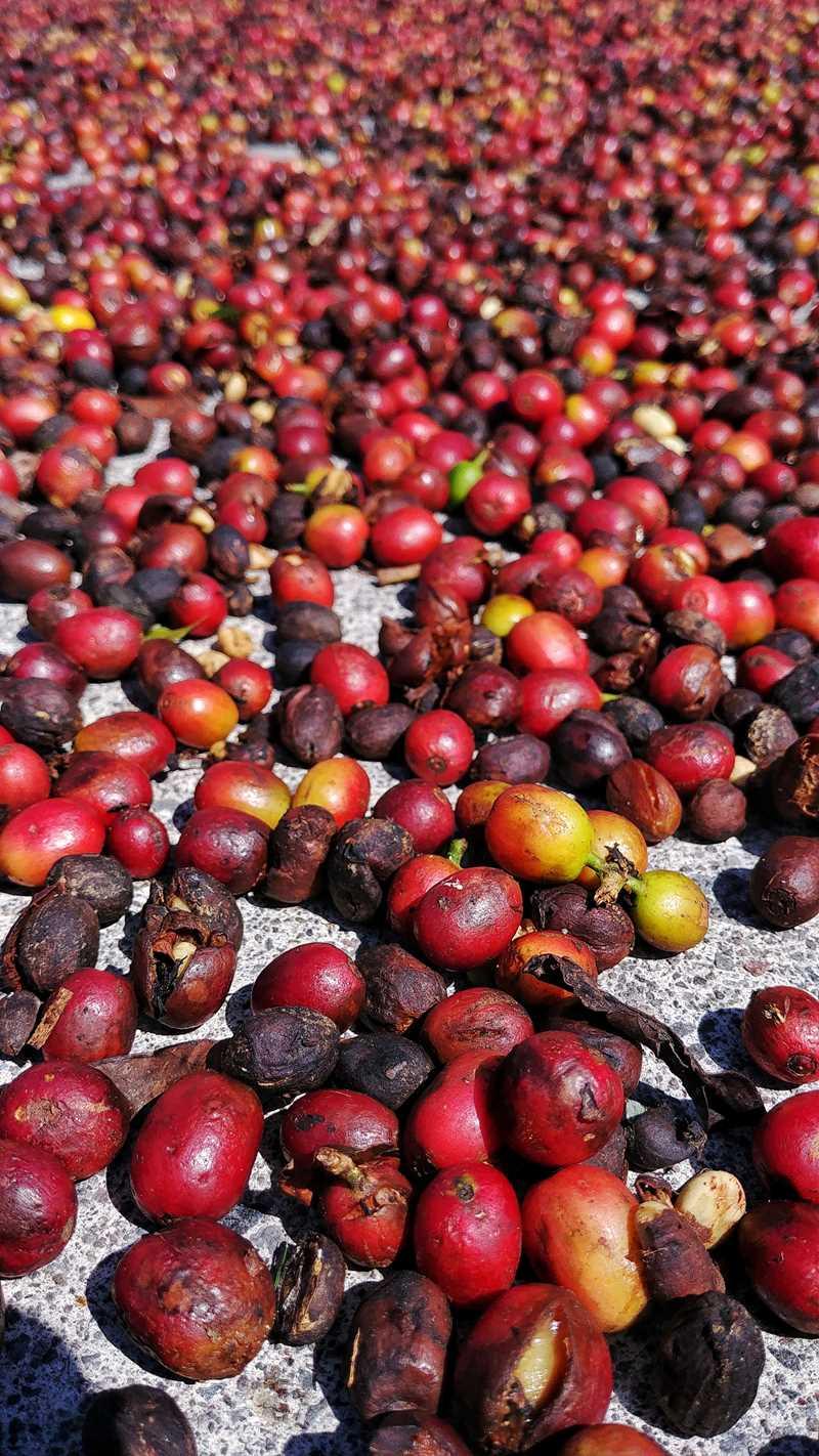 Kaffee auf der Kaffeefarm Finca Lerida in Boquete