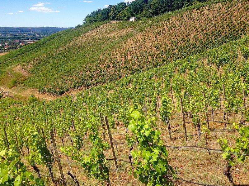 Die Weinhänge am Schloss Wackerbarth in Radebeul