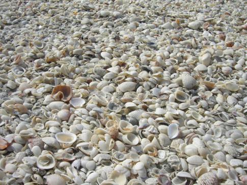 Der Bowmans Beach auf Sanibel Island - Muscheln, soweit das Auge reicht